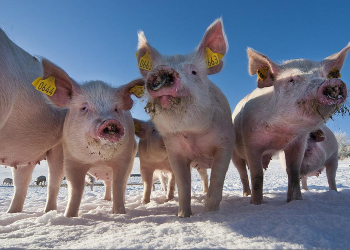 Pigs Greeting Card featuring the photograph Winter Sports by Robert Lacy