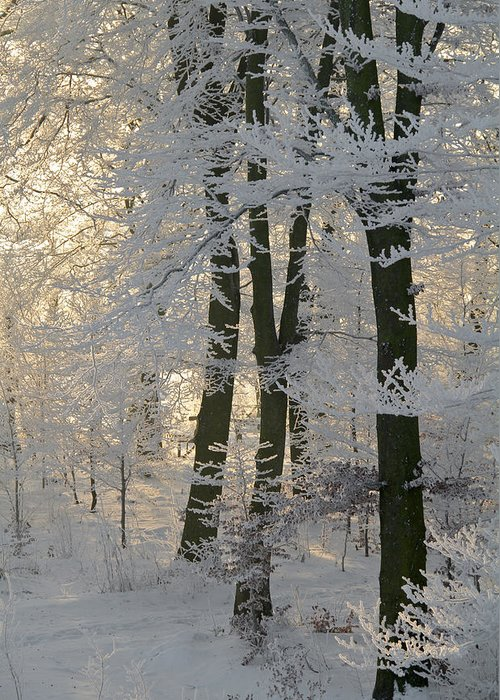 Forest Greeting Card featuring the photograph Winter Sun by Odd Jeppesen