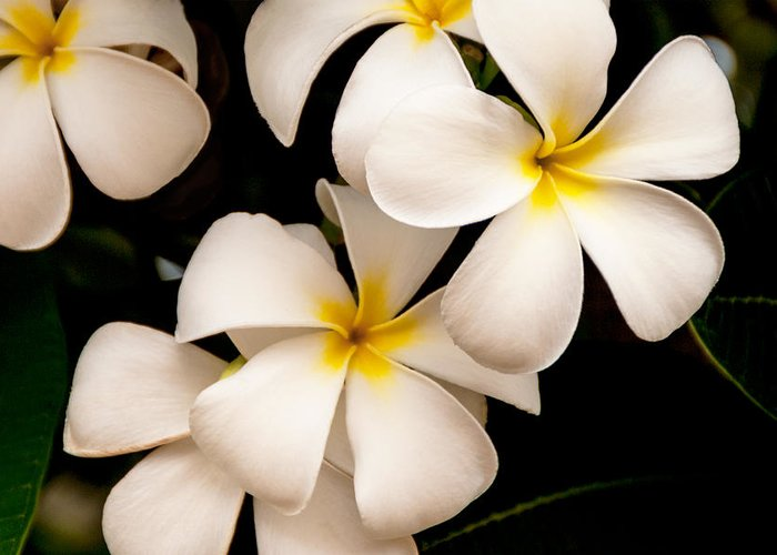 Yellow And White Plumeria Flower Frangipani Greeting Card featuring the photograph Yellow And White Plumeria by Brian Harig