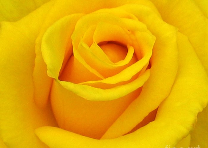 Yellow Rose Greeting Card featuring the photograph Yellow Beauty by Mg Blackstock
