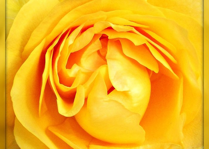 Rose Greeting Card featuring the photograph Yellow Petals by Cathie Tyler