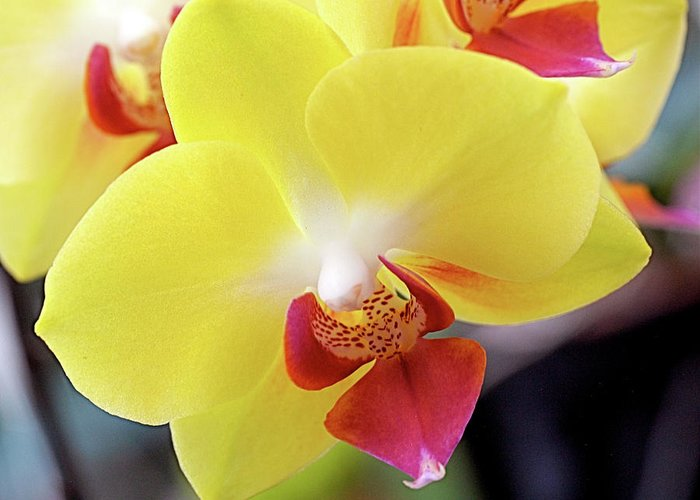 Yellow Greeting Card featuring the photograph Yellow Phalaenopsis Orchids by Rona Black
