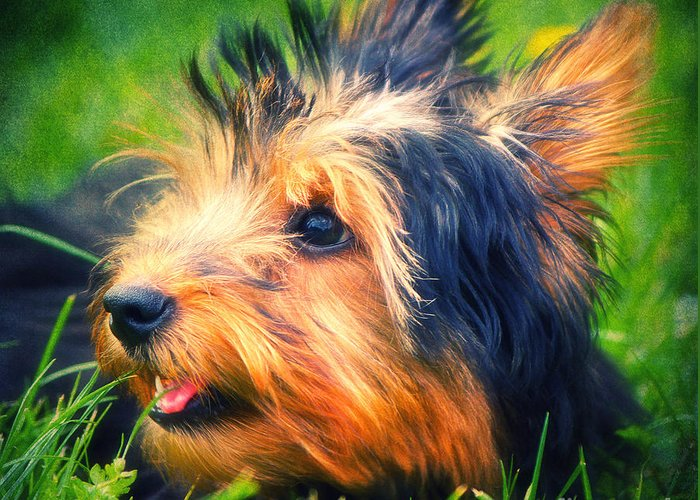 Dog Greeting Card featuring the photograph Yorki by Angela Doelling AD DESIGN Photo and PhotoArt