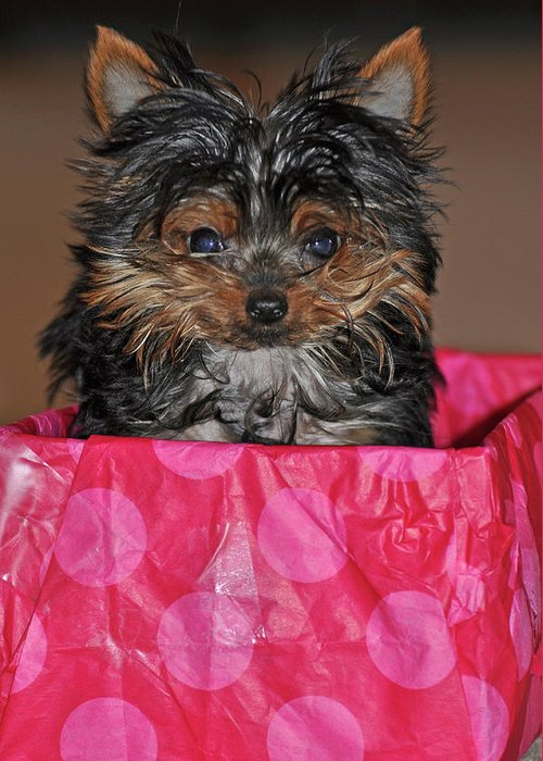 Dog Greeting Card featuring the photograph Yorkie by Peter McIntosh