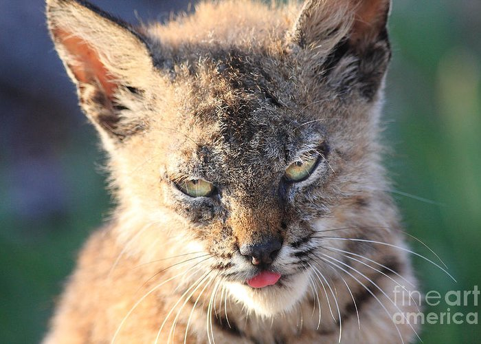 Animal Greeting Card featuring the photograph Young Bobcat 04 by Wingsdomain Art and Photography