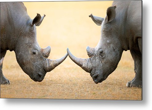 Rhinoceros Metal Print featuring the photograph White Rhinoceros Head To Head by Johan Swanepoel