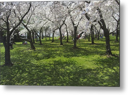 Cherry Blossoms Metal Print featuring the photograph Under The Cherry Blossoms - Washington Dc. by Mike McGlothlen