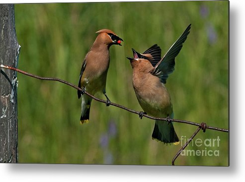 Festblues Metal Print featuring the photograph Waxwing Love.. by Nina Stavlund