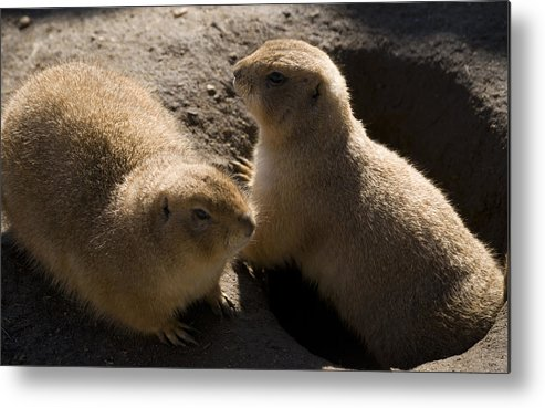 Prairie Dog Metal Print featuring the photograph Little Dogs On The Prairie by Trish Tritz