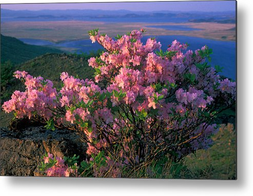 Far East; Flora; Flowers; Nature; Nobody; Outdoors; Outside; Plant World; Plants; Preserve; Reserve; Rhododendron; Spring Metal Print featuring the photograph Khasanskiy Nature Park by Anonymous