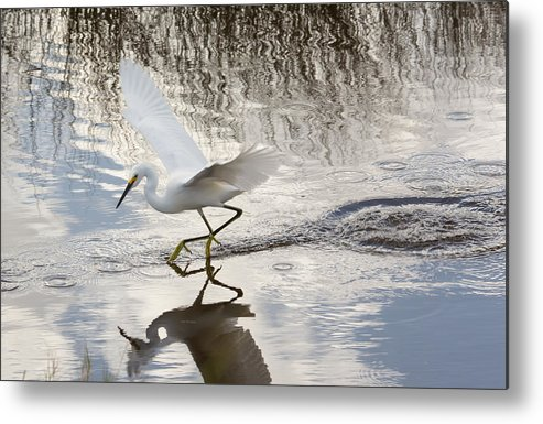 Nature Metal Print featuring the photograph Snowy Egret Gliding Across The Water by John M Bailey
