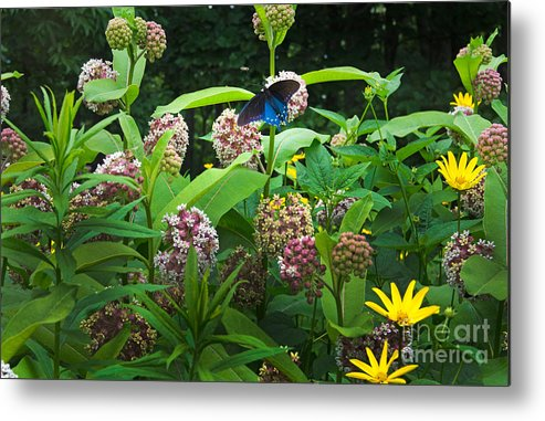 Common Milkweed Metal Print featuring the photograph Wildflower Meadow by Kenneth Murray