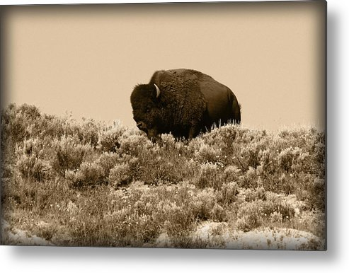 Buffalo Metal Print featuring the photograph Old Timer by Shane Bechler