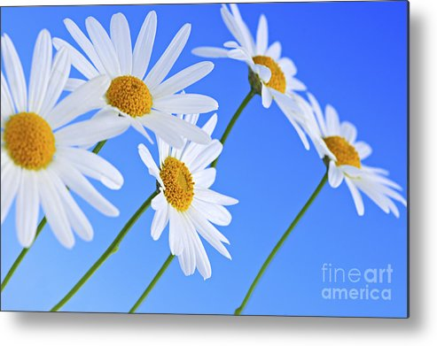 Daisy Metal Print featuring the photograph Daisy Flowers On Blue Background by Elena Elisseeva