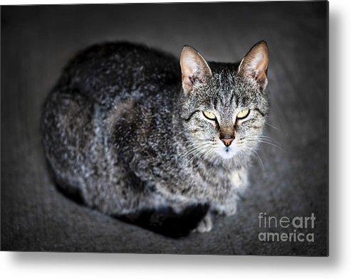 Cat Metal Print featuring the photograph Grey Cat Portrait by Elena Elisseeva