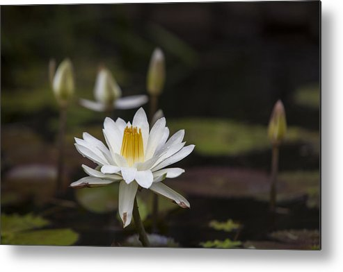 Water Lilly Metal Print featuring the photograph Water Lilly 6 by Charles Warren