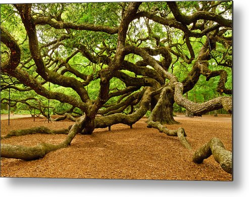 Nature Metal Print featuring the photograph Angel Oak Tree Branches by Louis Dallara