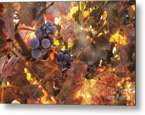 Michele Metal Print featuring the photograph Autumn In The Vineyard by Michele Steffey