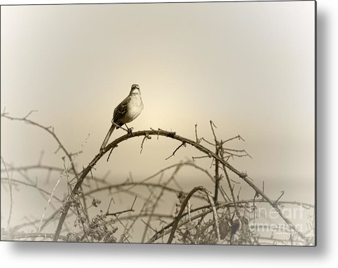 Songbird Metal Print featuring the photograph Bird In The Briar by Artist and Photographer Laura Wrede
