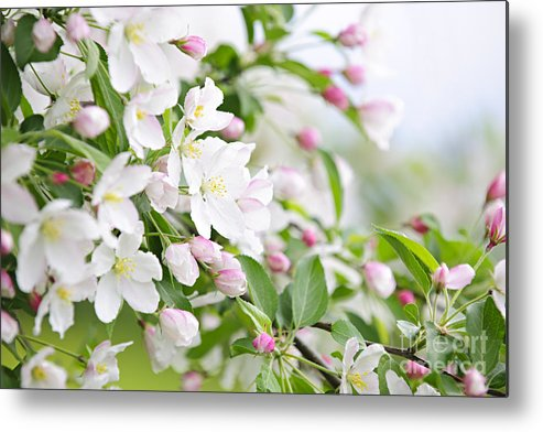 Apple Metal Print featuring the photograph Blooming Apple Tree by Elena Elisseeva