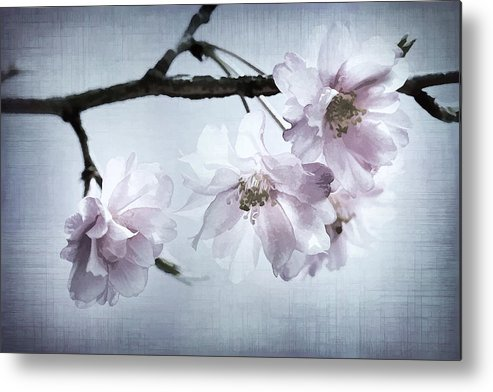 Cherry Metal Print featuring the photograph Cherry Blossom Sweetness by Kathy Clark