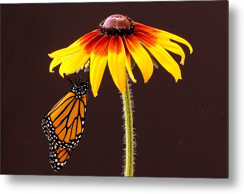 Animals Metal Print featuring the photograph Dangling Monarch by Jean Noren