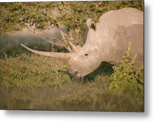 Adult Metal Print featuring the photograph Female White Rhinoceros Grazing by Science Photo Library