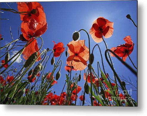 Tranquil Scene Metal Print featuring the photograph Field Of Poppies At Spring by Sami Sarkis