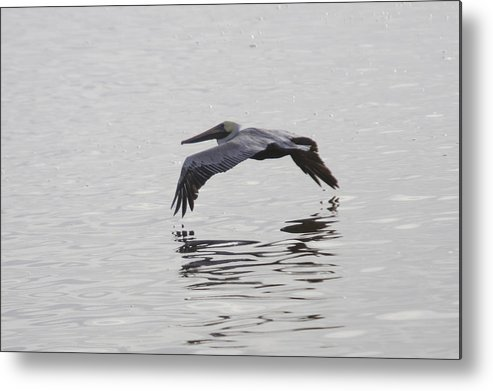 Pelican Metal Print featuring the photograph Glide by Charles Warren