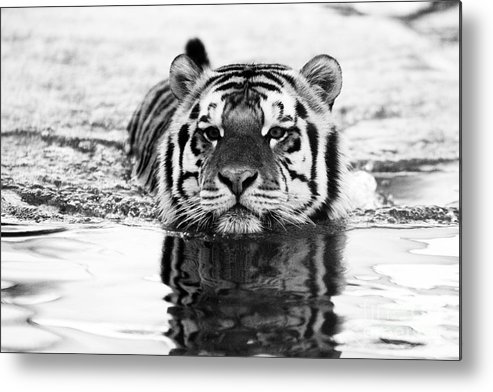Tiger Metal Print featuring the photograph Mike by Scott Pellegrin
