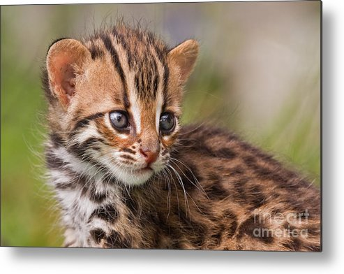 Leopard Metal Print featuring the photograph Miniature Leopard by Ashley Vincent