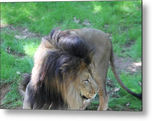 National Metal Print featuring the photograph National Zoo - Lion - 01132 by DC Photographer
