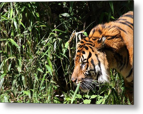 National Metal Print featuring the photograph National Zoo - Tiger - 011311 by DC Photographer
