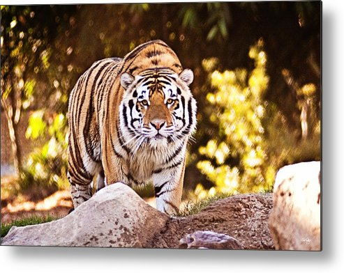 Tiger Metal Print featuring the photograph On The Prowl by Scott Pellegrin