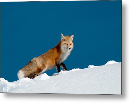 Red Fox Metal Print featuring the photograph Red Fox by Gary Beeler