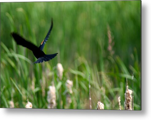 Lahay Creative Metal Print featuring the photograph Red Winged Blackbird by Andrew Lahay