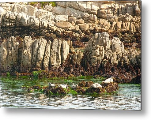 Sea Lions In Monterey Bay Metal Print featuring the photograph Sea Lions In Monterey Bay by Artist and Photographer Laura Wrede