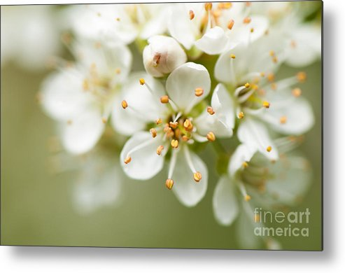 Close Up Metal Print featuring the photograph St Lucie Cherry Blossom by Anne Gilbert
