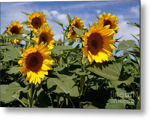 Agriculture Metal Print featuring the photograph Sunflowers by Kerri Mortenson