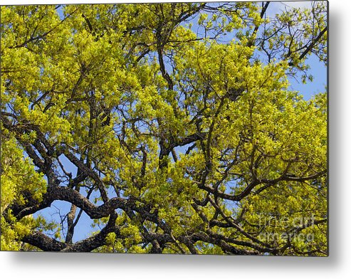 Leaves Metal Print featuring the photograph Tangled In Time by Pamela Gail Torres