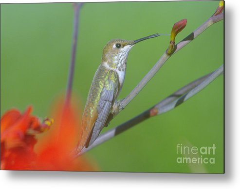 Tongue Metal Print featuring the photograph The Tongue Of A Humming Bird by Jeff Swan