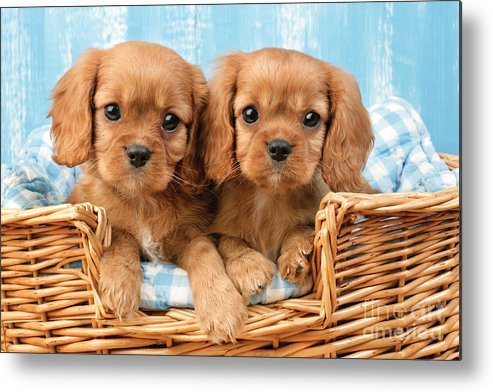 Cavalier Metal Print featuring the digital art Two Puppies In Woven Basket Dp709 by Greg Cuddiford