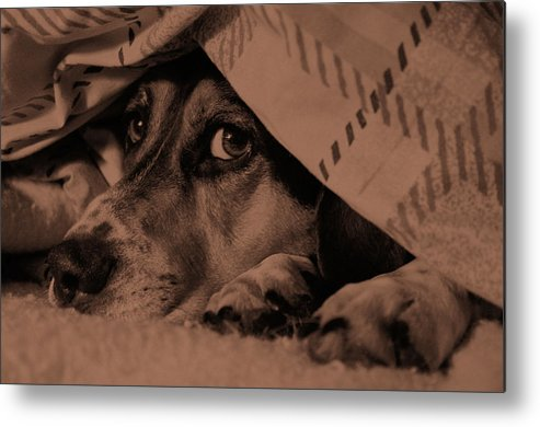 Dog Metal Print featuring the photograph Undercover Hound by Paul Wash