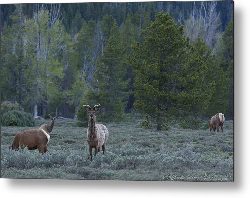 Pronghorn Metal Print featuring the photograph Watchful by Charles Warren