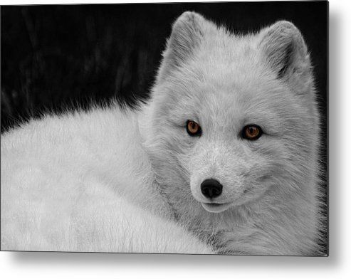 Wee Arctic Hunter Metal Print featuring the photograph Wee Arctic Hunter D3613 by Wes and Dotty Weber