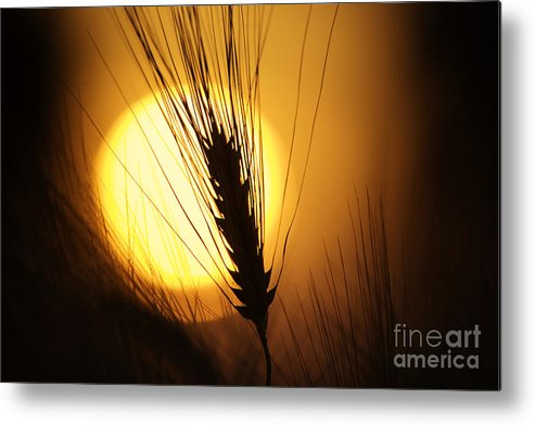 Sunset Metal Print featuring the photograph Wheat At Sunset by Tim Gainey