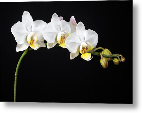 3scape Photos Metal Print featuring the photograph White Orchids by Adam Romanowicz