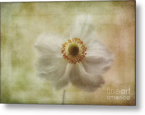 Japanese Windflower Metal Print featuring the photograph Windblown by John Edwards