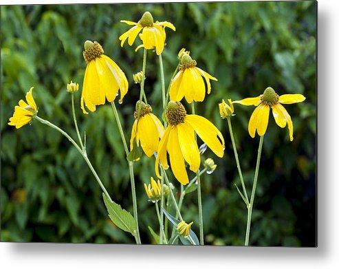 Ratibida Pinnata Metal Print featuring the photograph Yellow Cone Flowers Rudbeckia by Rich Franco