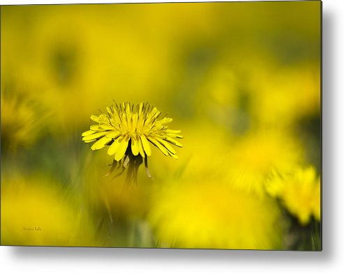 Yellow Metal Print featuring the photograph Yellow On Yellow Dandelion by Christina Rollo